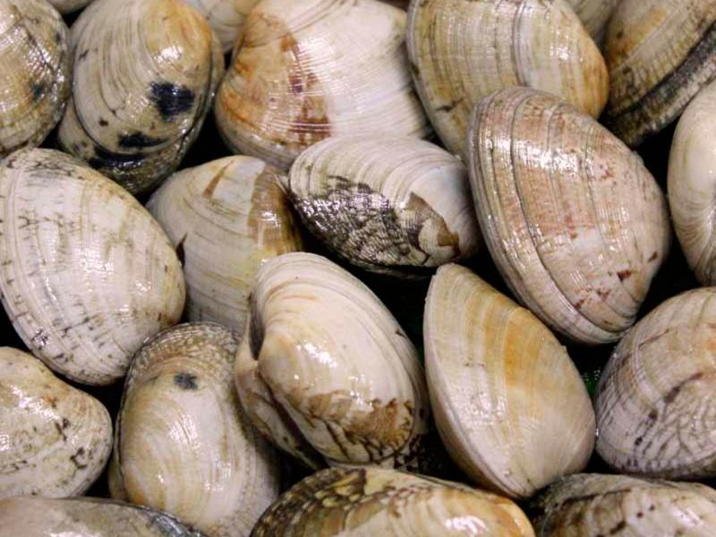 Almeja Babosa Extra de 40 a 45 piezas kg.